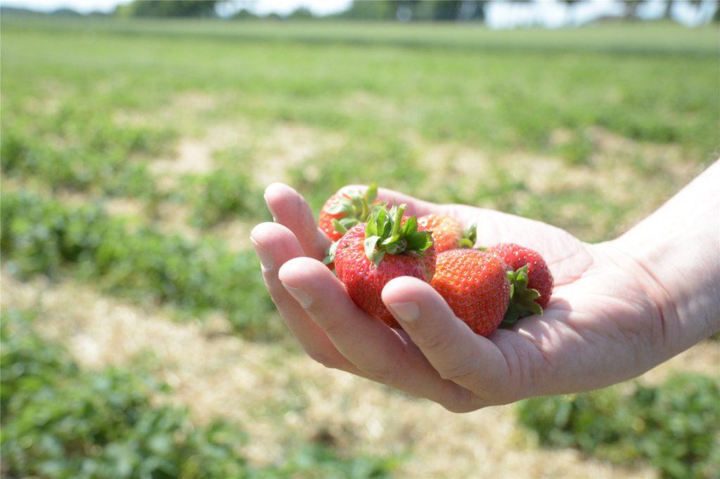 Erdbeeren können die Bürger noch bis zum Wochenende auf dem Feld an der B54 pflücken.
