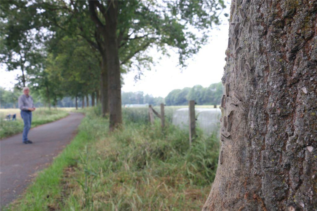 In jedem Baum an der Allee in der Straße Am Bellingholz gibt es mindestens ein Nest der giftigen Raupe.