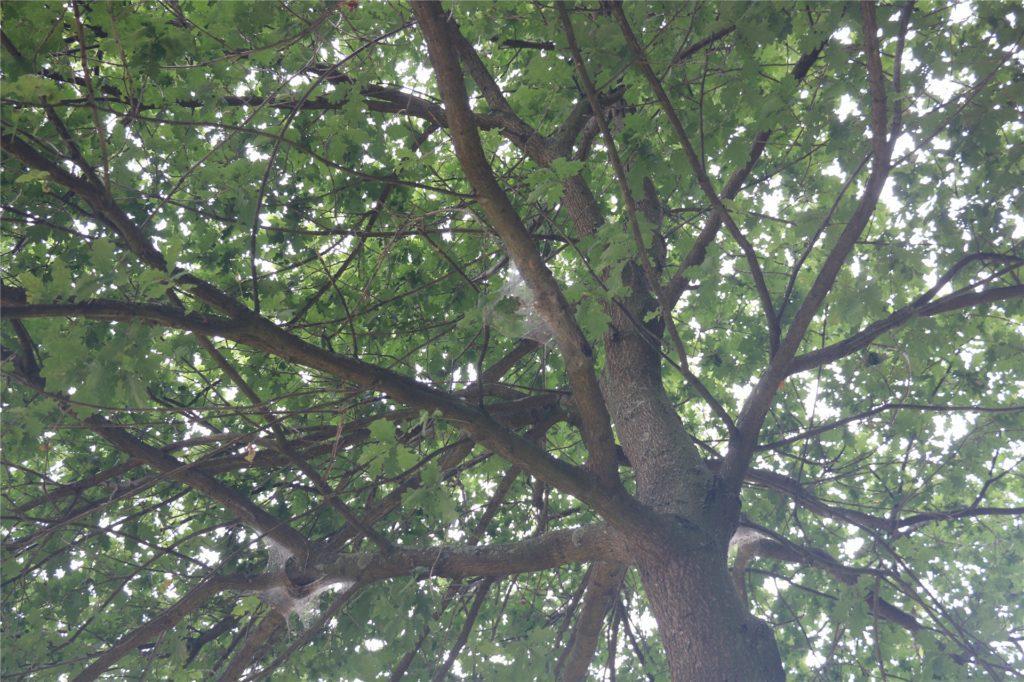 Am Bellingholz sind alle Eichen der Allee mit dem Eichenprozessionsspinner mit mindestens einem Nest befallen. Dort werden derzeit die Raupen abgesaugt.
