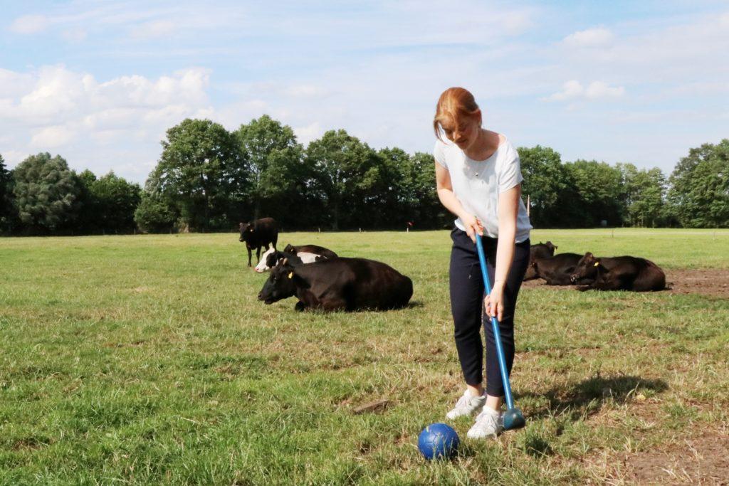 Die Kühe lassen sich durch die Golfer nicht stören.
