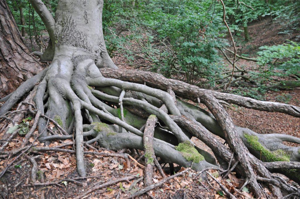 Knorrige Wurzeln haben sich ihren Weg gebahnt.