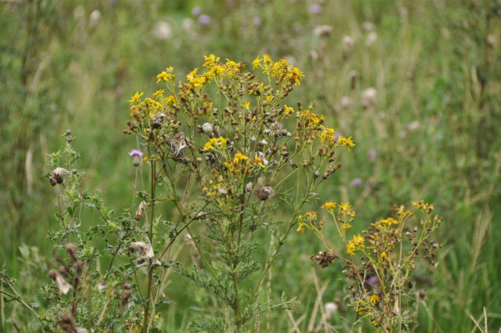 Die gelb blühende Giftpflanze, botanisch Senecio jacobaea, hat sich in den vergangenen Jahren in Deutschland stark vermehrt