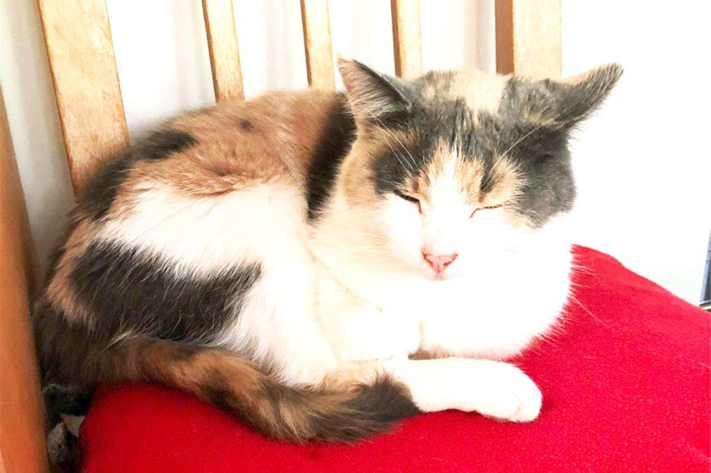 Katze Greetje ist gechipt und tätowiert, dreifarbig und eine von drei Katzen am Marderweg/Reiherweg, die plötzlich spurlos verschwunden sind.