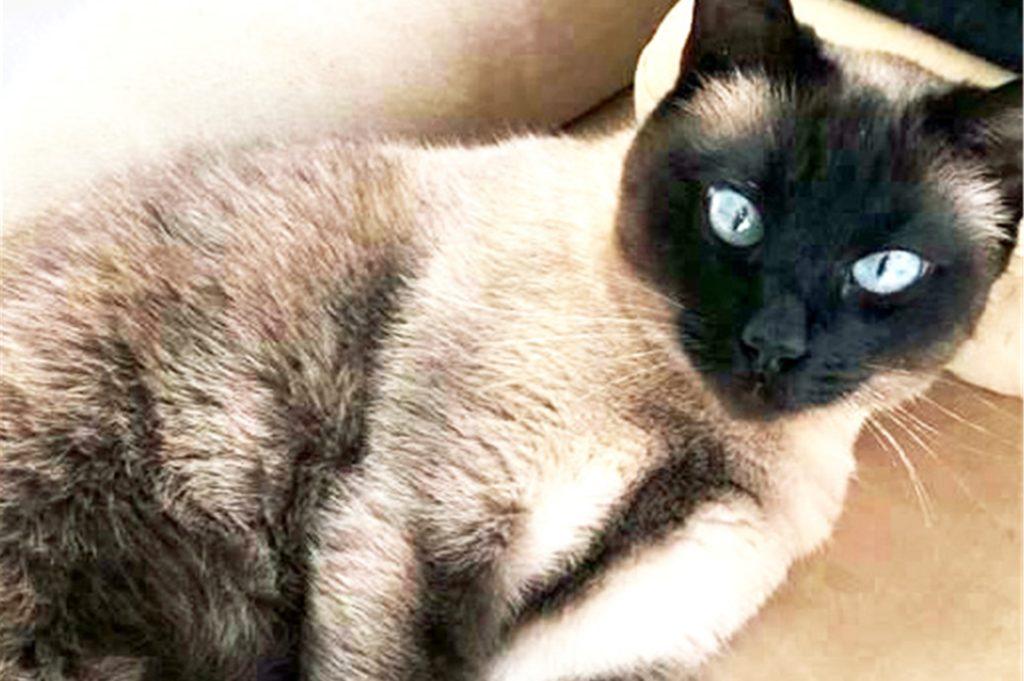 Wer hat Siamkatze Lilli nach Rees verschleppt? Das wüssten die Halter gerne.