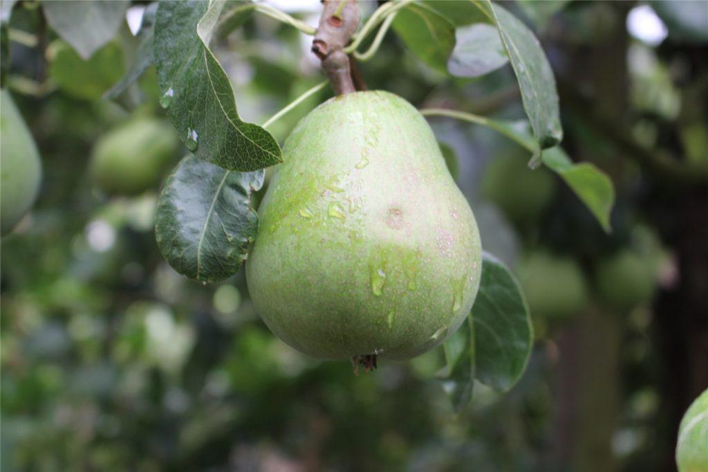Birnen müssen gut gepflegt werden, damit sie nicht den Schorf bekommen.