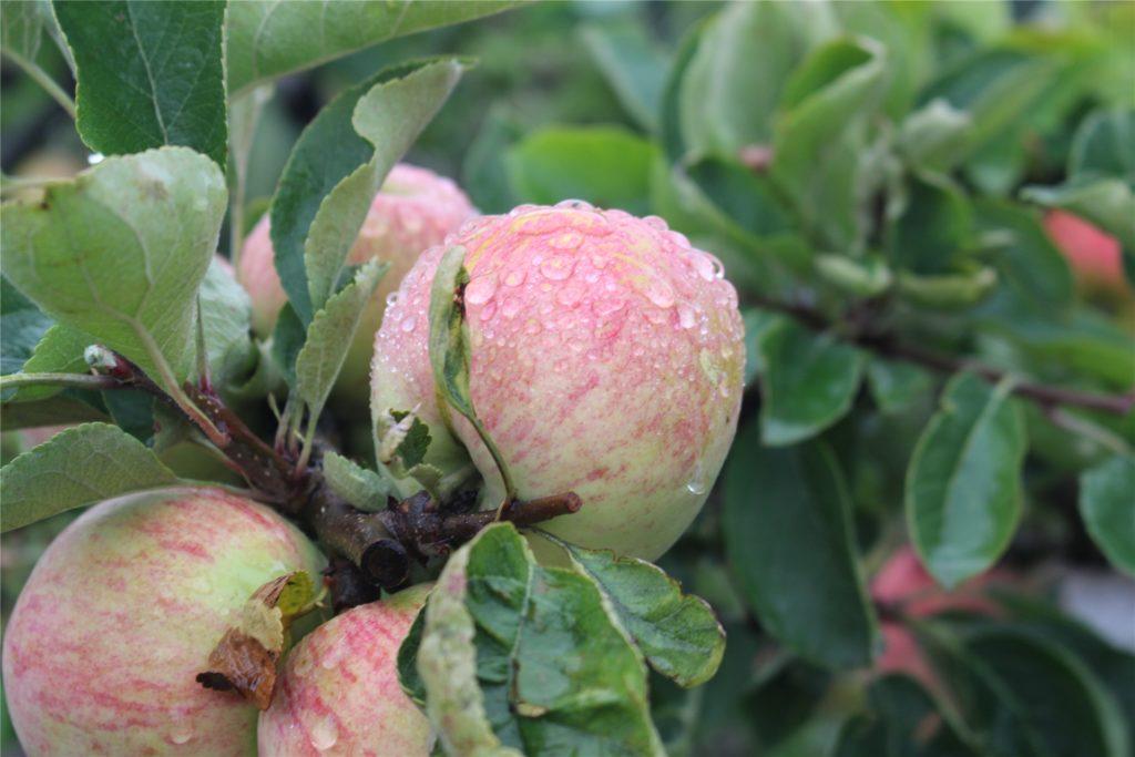 Die Äpfel werden im August reif sein. Dann gibt es Apfelmus und Apfelkuchen.