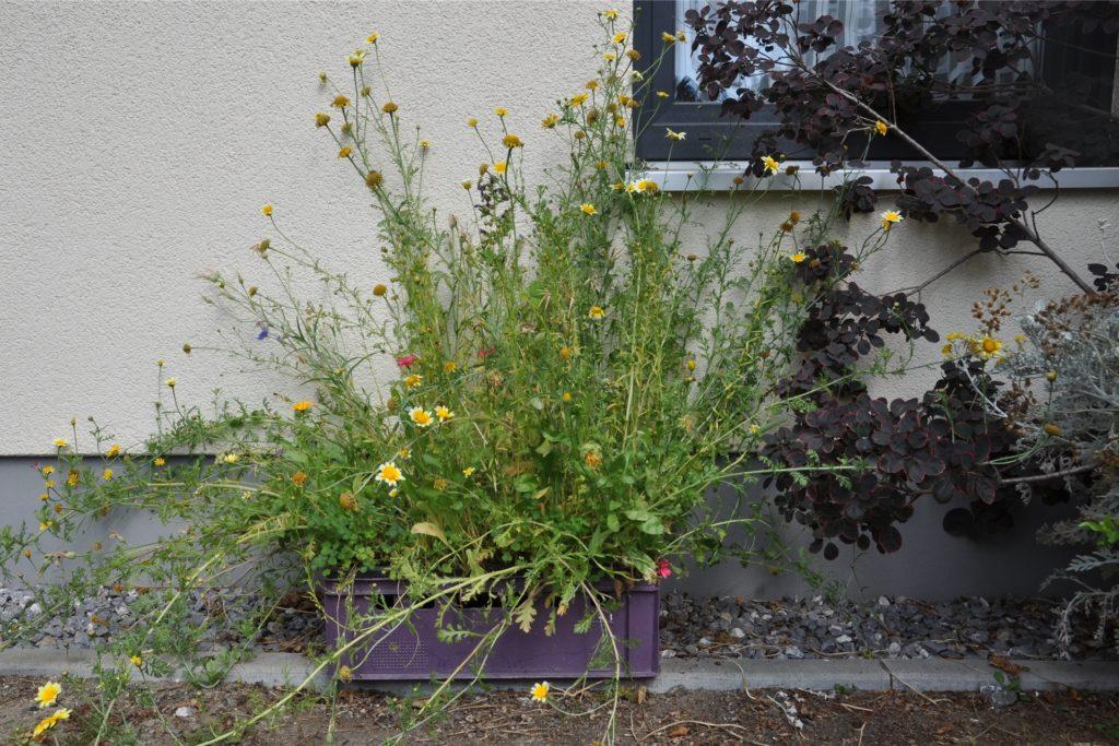Heide Wittrien lässt in einer Kiste Blumen als Insektenfutter sprießen.