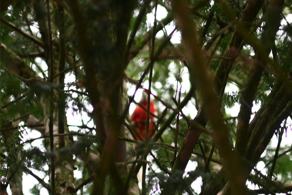 Papagei Günther versteckte sich sogar vor der Kameralinse der Presse hinter Zweigen.