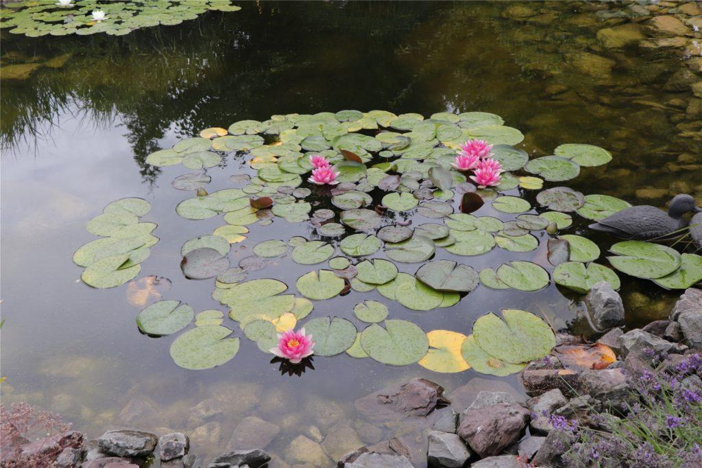 Auf dem Teich der Wittes schwimmen Seerosen - manchmal zusammen mit besuchenden Enten.