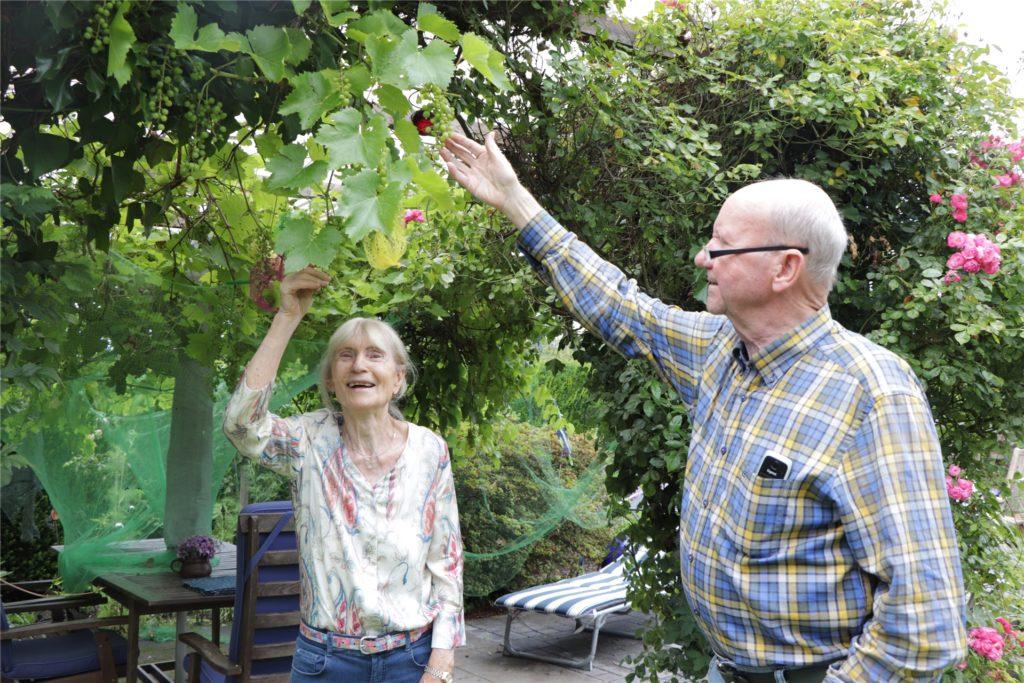 """""""Schlaraffenland"""": Siegried und Dirk Witte bestaunen die reiche Ausbeute an Weintrauben in diesem Jahr."""