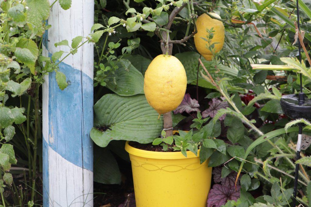 Die großen, reifen Zitronen fallen durch ihr leuchtendes Gelb besonders auf.