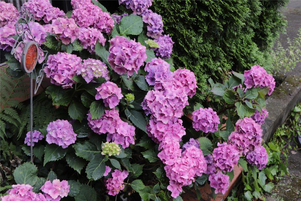 Die Hortensien gehören zu Siegrid Wittes Lieblingsblumen. In diesem Jahr blühen sie in rosa und violett.