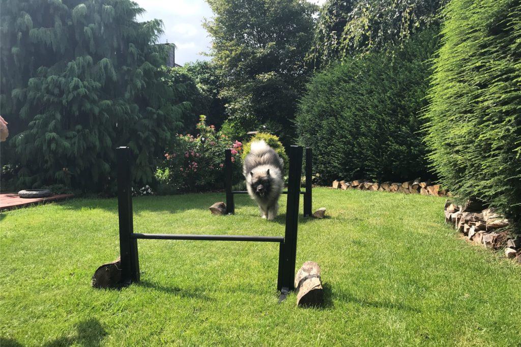 Springen und Slalom laufen kann Hund Albert in dem Parcours.