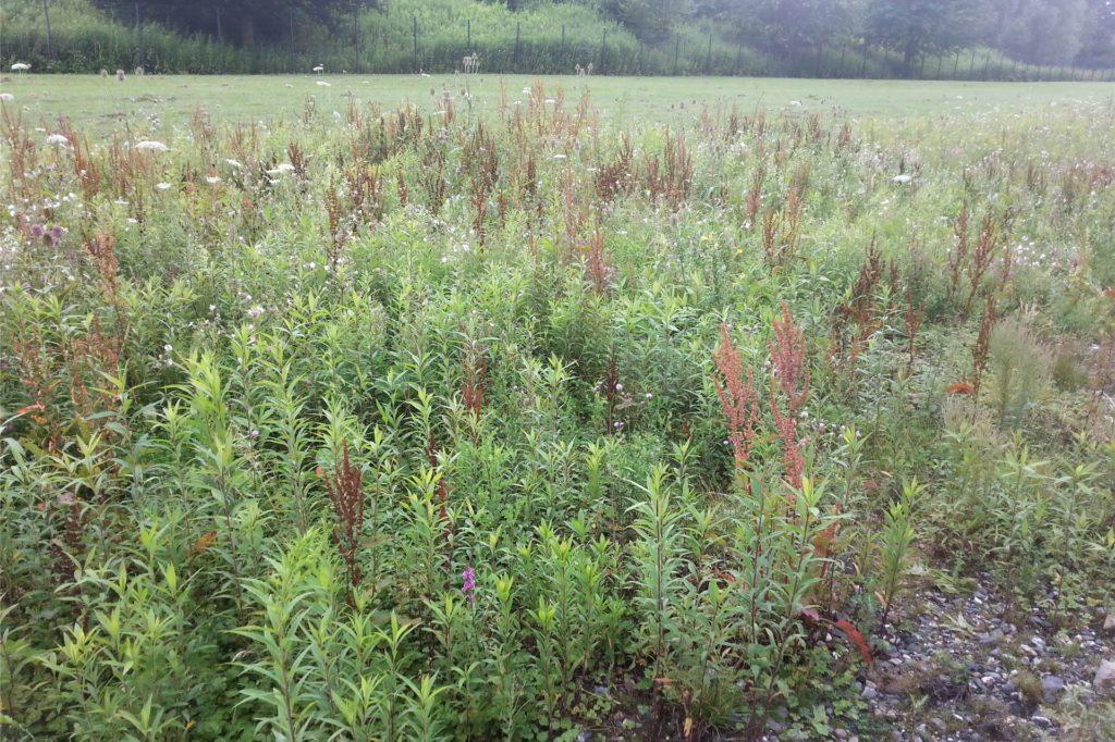 Die Kanadische Goldrute hat sich auf der Wildblumenwiese in Ascheberg breit gemacht.