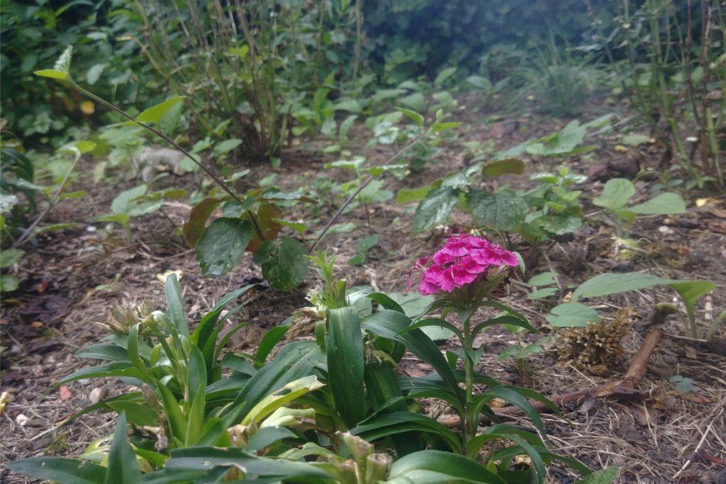 Als das Efeu sich zu sehr ausbreitete, wurde gerodet. Nun entsteht hier ein Bauerngarten.