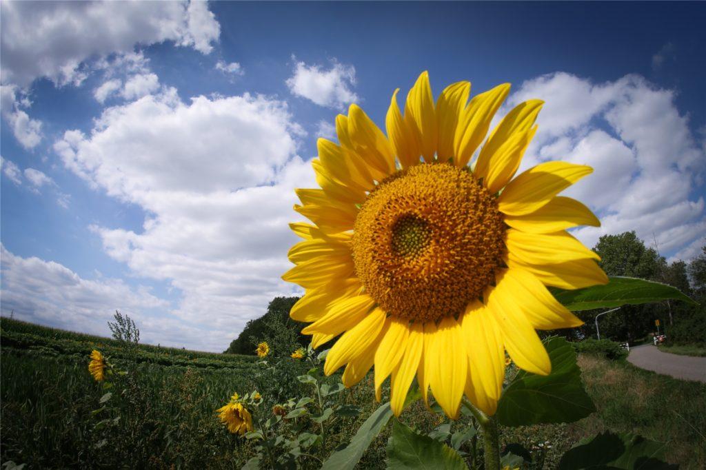 Auch Sonnenblumen kann man jetzt an der Gahmener Straße pflücken.