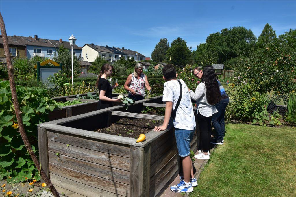 Die Schüler ernten die unter Anleitung von Lehrerin Martina Baehren die Gemüse aus dem Hochbeet.