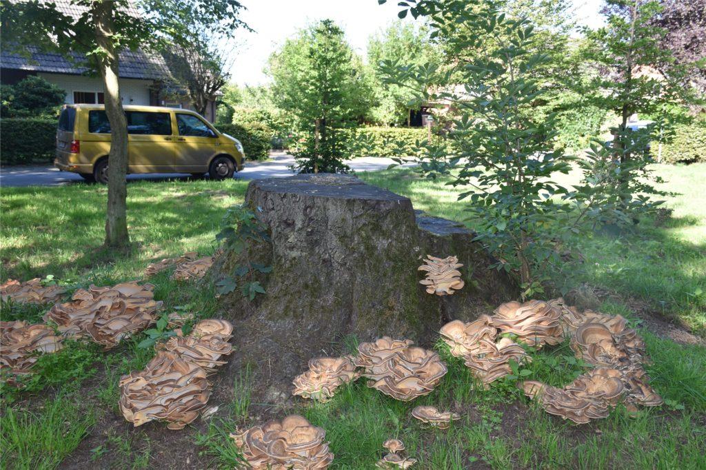 Der Riesenporling hat einige Bäume befallen.
