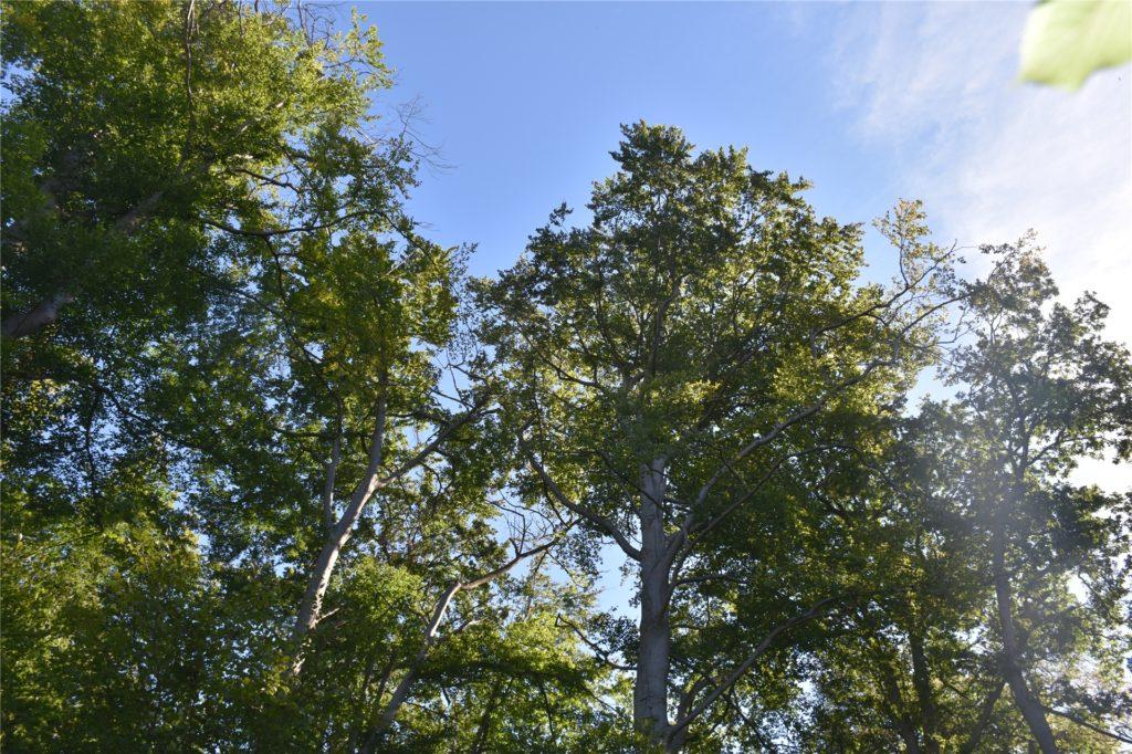 Ein großer Teil der Baumkronen ist verlichtet.