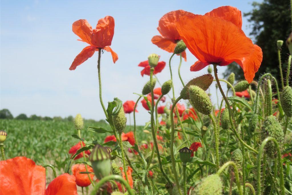 Am Gartenzaun wurden im Frühjahr händevoll bunt gemixte Samen ausgestreut, darunter Klatschmohn