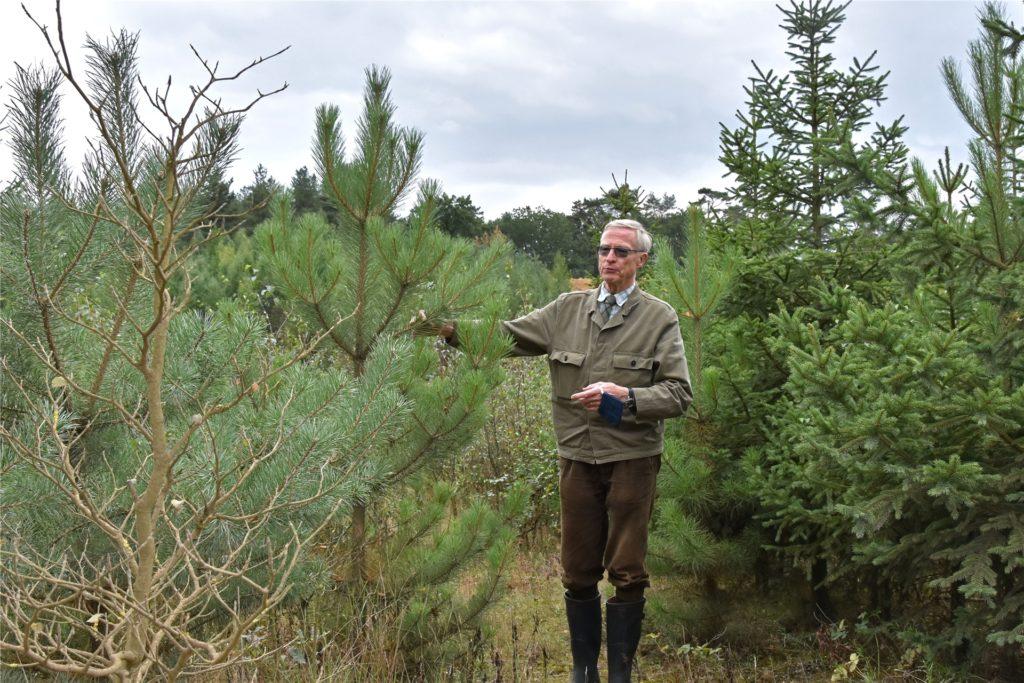 In der Sohle der Grube gedeiht nicht jeder Baum gleich gut. Im Vordergrund eine vertrocknete Buche, dahinter eine heimische Kiefer. Graf von Merveldt steht neben einer korsischen Schwarzkiefer.
