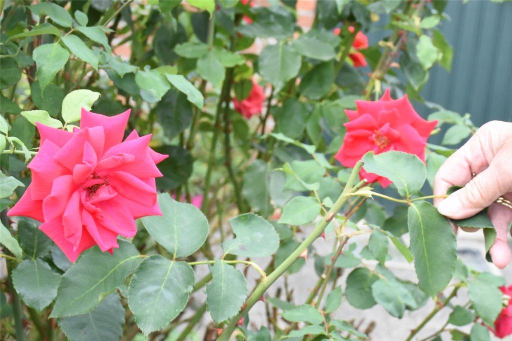 Auch die Rosen sind immer wieder betroffen.