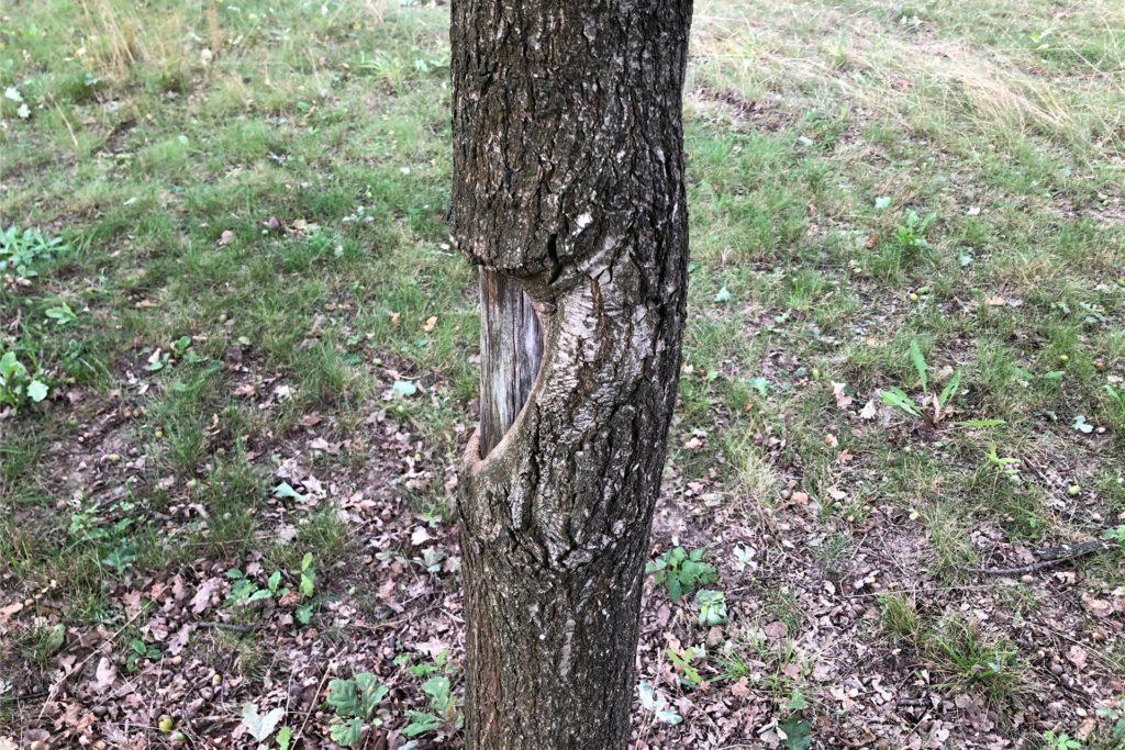 Hier mal ein positives Beispiel: Dieser vielleicht 20 Jahre alte Baum baut