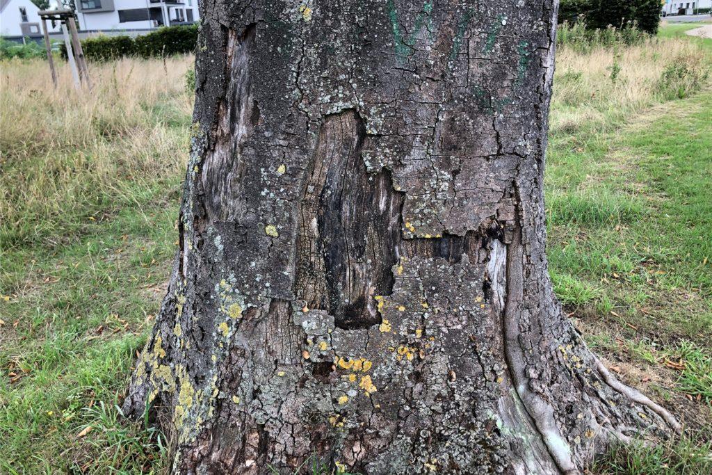 Dieser Baum hat Sonnenbrand und ist nicht mehr zu retten. Bei direkter Sonneneinstrahlung könne die betragen, Temperatur am Stamm 80 bis 90 Grad betragen, sagt Lars Terme
