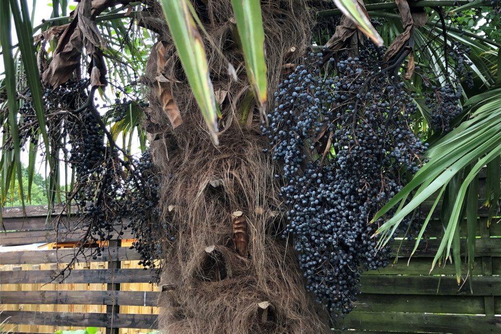 Die blauen Früchte der Hanfpalme sind nicht essbar.