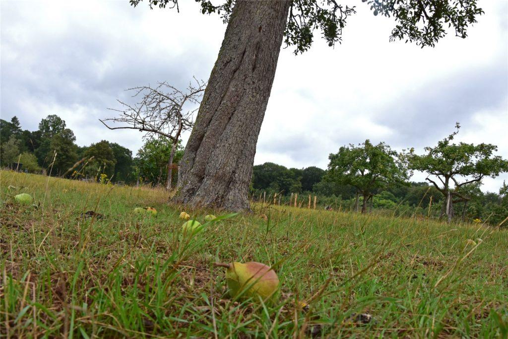 Vom Birnenbaum fallen schon die ersten reifen Früchte.