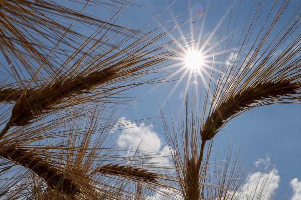 Gerstenähren in der Sonne