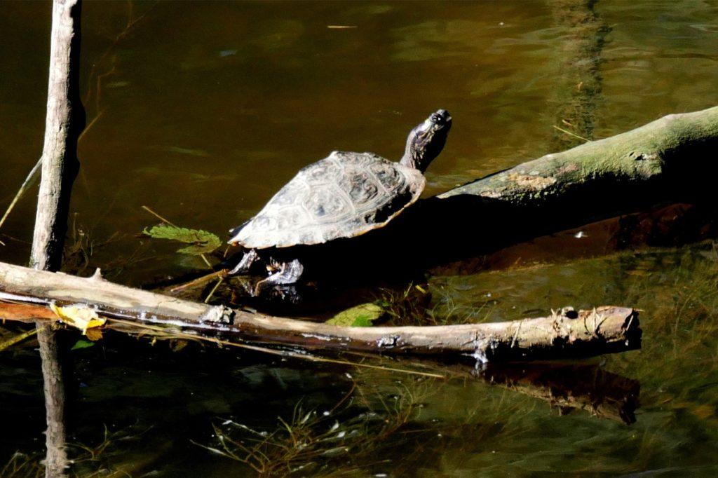 Diese Schildkröte sonnt sich in der Berkel im Stadtpark.