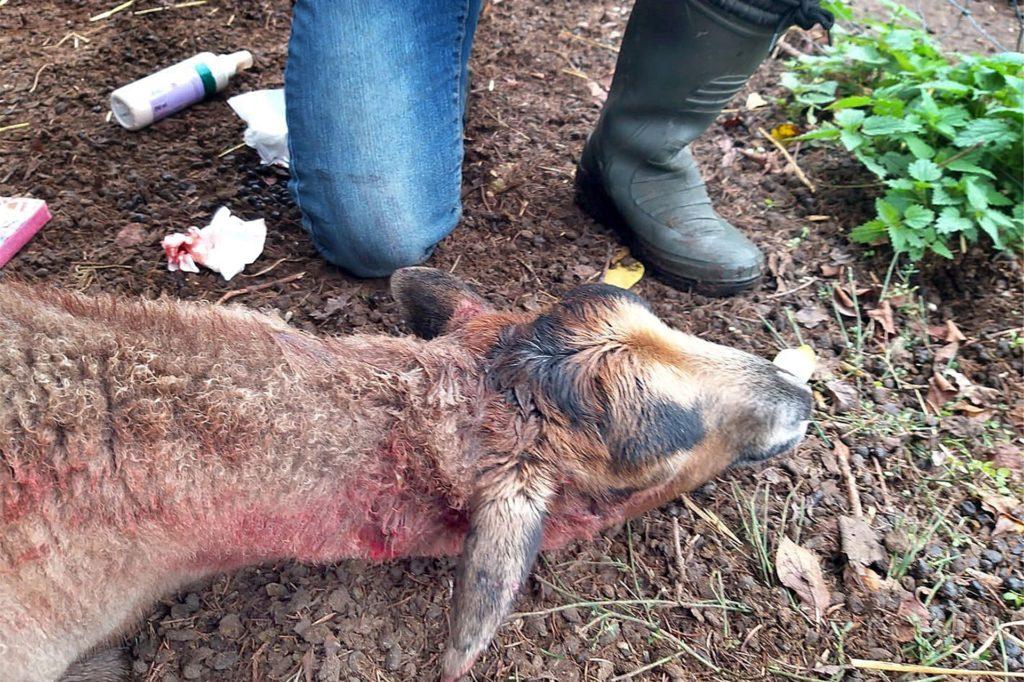 Ein Tierarzt musste dem gebissenen Schaf das Leben retten.