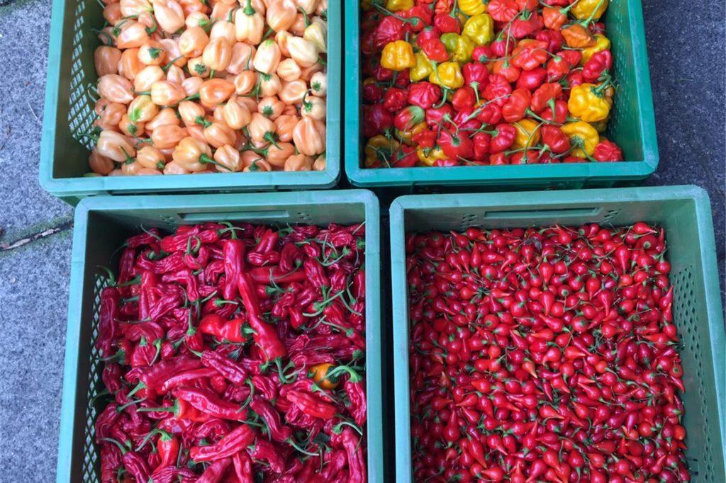 Über 20 Chili-Sorten baut Simon Hauswirth in seinem Garten in Ickern an.