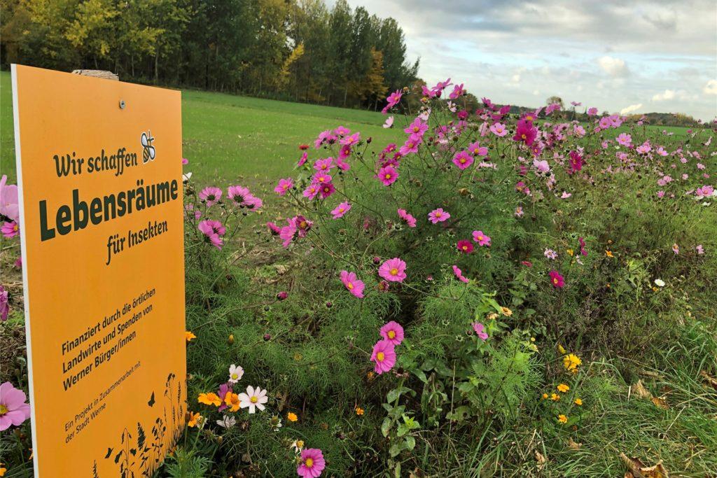 Mit letzter Kraft stemmen sich die Blumen des Blühstreifens auf dem W5 in Stockum gegen die Herbstkälte.