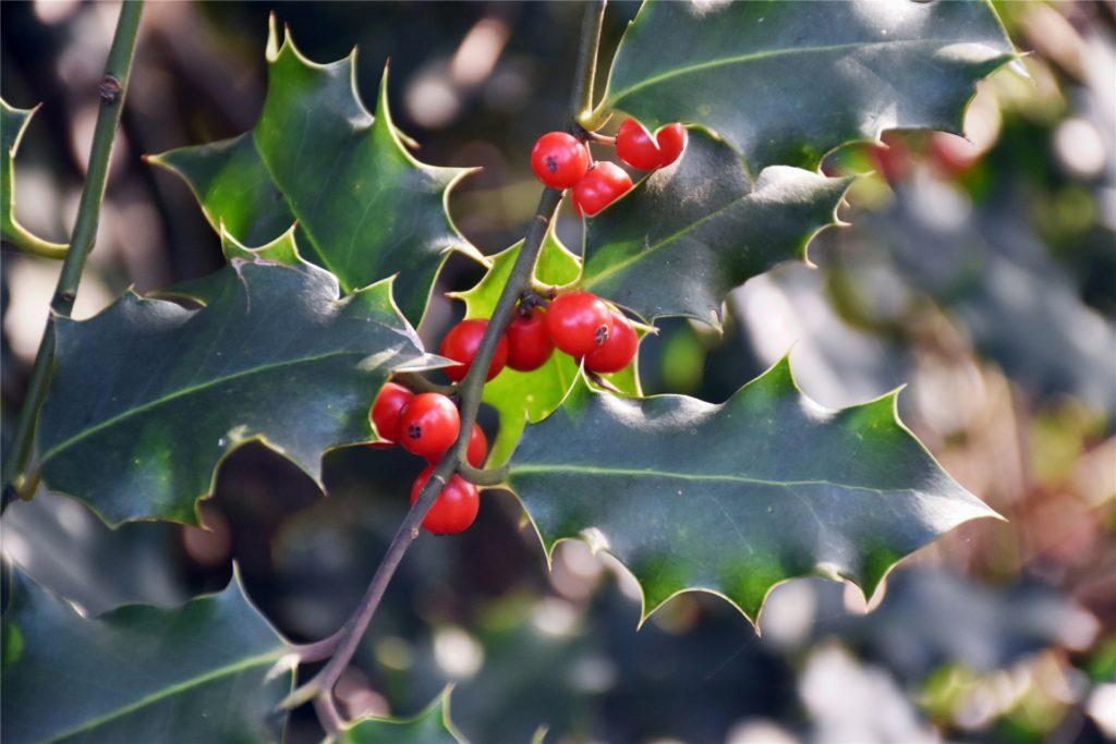 Die Stechpalme ist ein echter Hingucker mit ihrer spezifischen Blattform und den leuchtend roten Beeren.