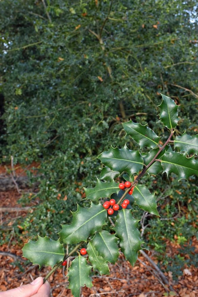 Man muss schon nah rangehen an einen Ilex, um die roten Beeren zu erkennen. Das stachelige Grün dominiert bei der Stechpalme, die an sich in Pyramidenform wächst.