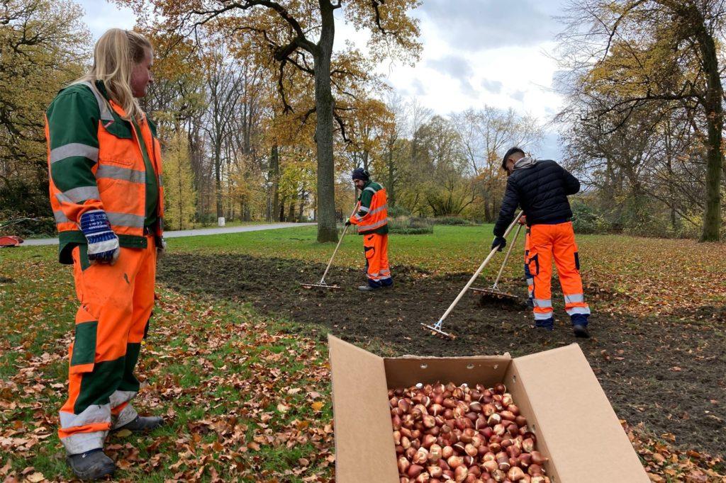 15.000 Tulpenzwiebeln - gestiftet vom Freundeskreis Fredenbaum - wurden von Auszubildenden des städtischen Grünflächenamtes gepflanzt.