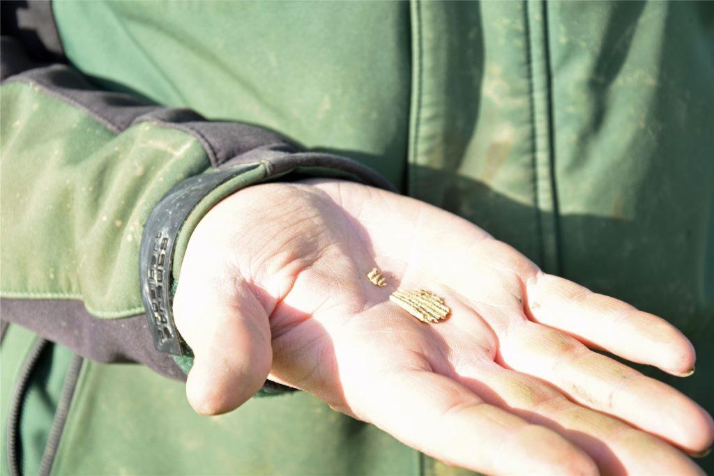 Der Splitter einer fossilen Jakobsmuschel beweist, hier war einst Meer.