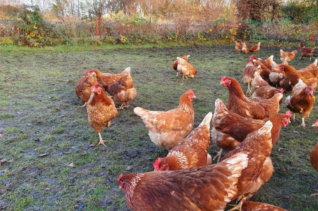 Die Hühner im Freilauf.