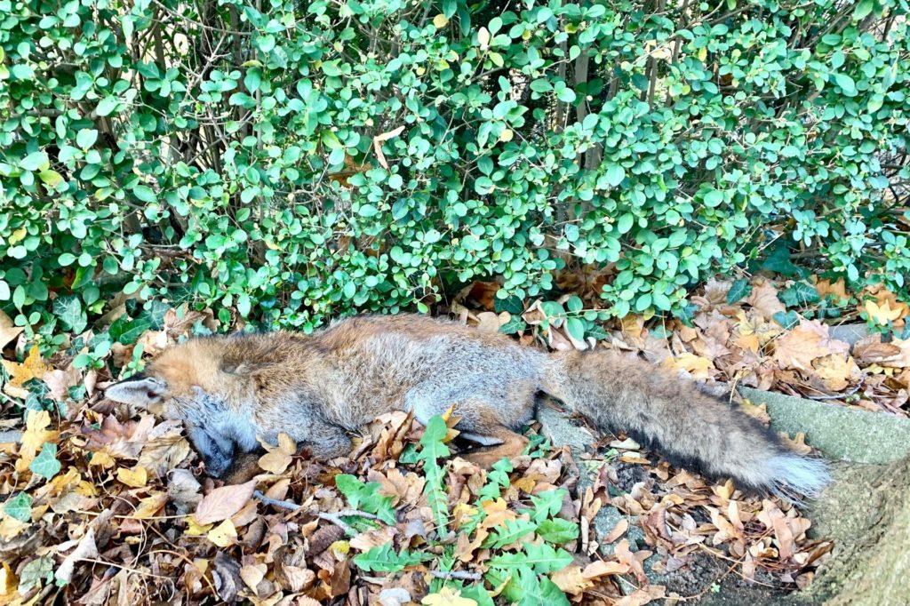 Der junge Fuchs musste von einem Förster erlöst werden.