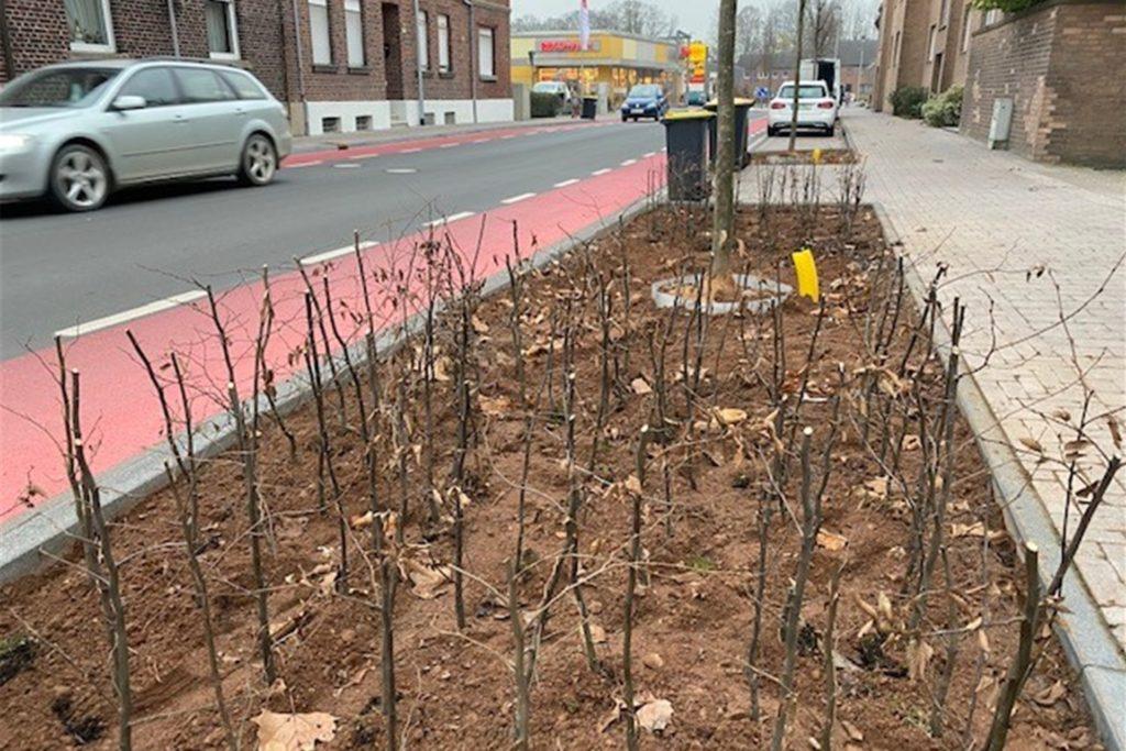 Auf der Bilholtstraße sind neue Heckenpflanzen gesetzt und Bäume gepflanzt worden.