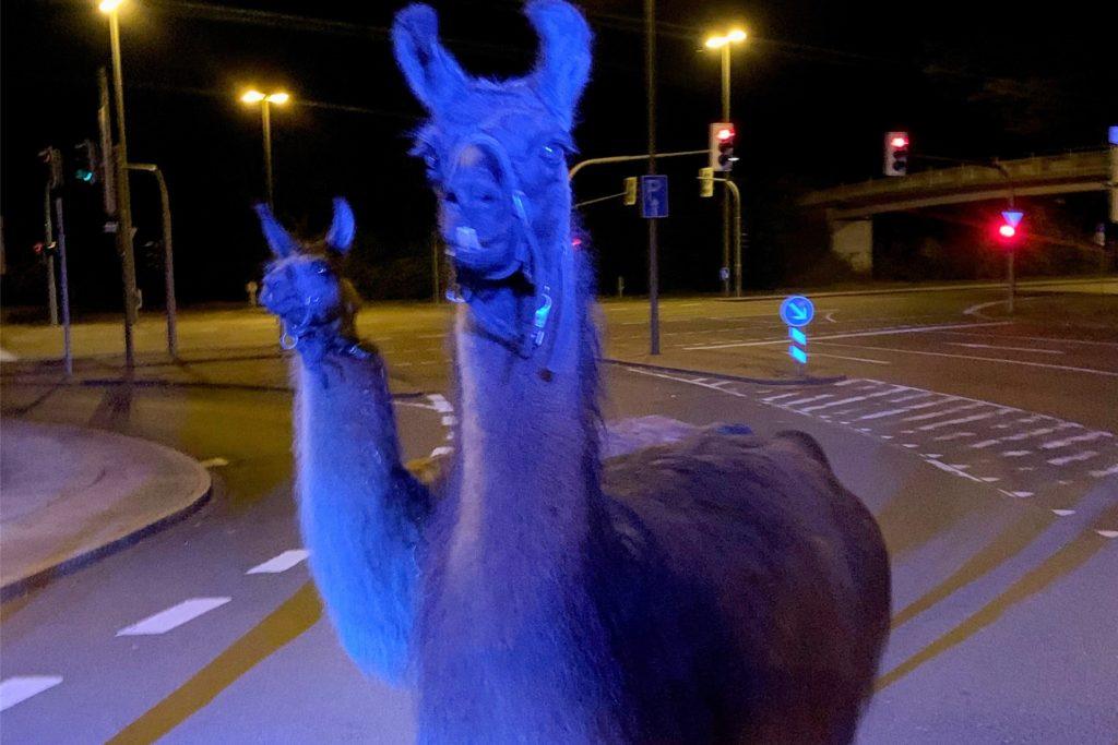Lamas stehen auf einer Strasse in Iserlohn.