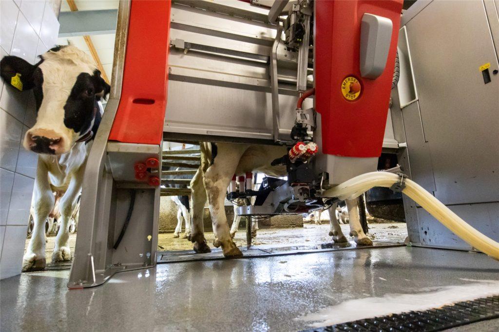 Am Melkroboter wartet bereits die nächste Kuh. Im Roboter wird sie dann vollautomatisch gemolken und es gibt dort eine Ration Kraftfutter.