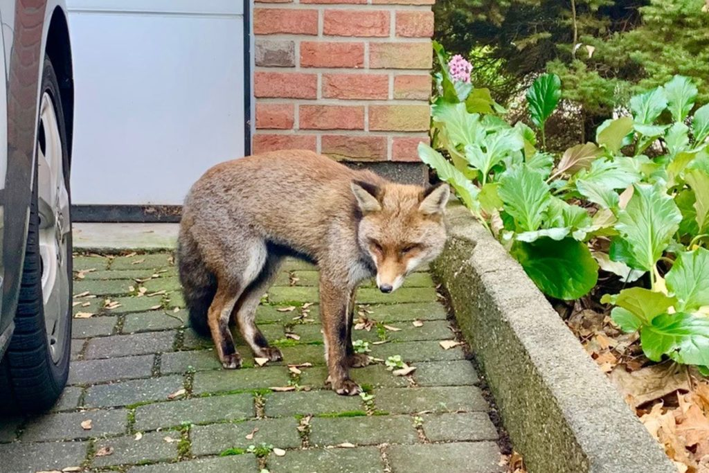 Der Fuchs in der Wohnsiedlung zeigte keinerlei Scheu mehr. Letztendlich musste das kranke Tier von einem Förster erschossen werden.