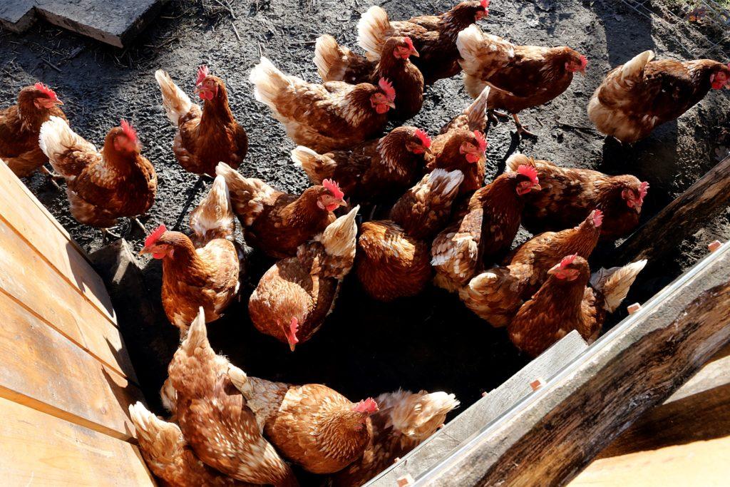 Die Hühner am Eierautomaten lassen sich auch gern füttern.