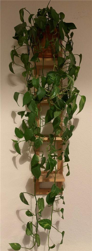 Ganz schön lang geworden: Die Pflanze von Redakteurin Freddy Schneider ist ziemlich wild gewachsen.