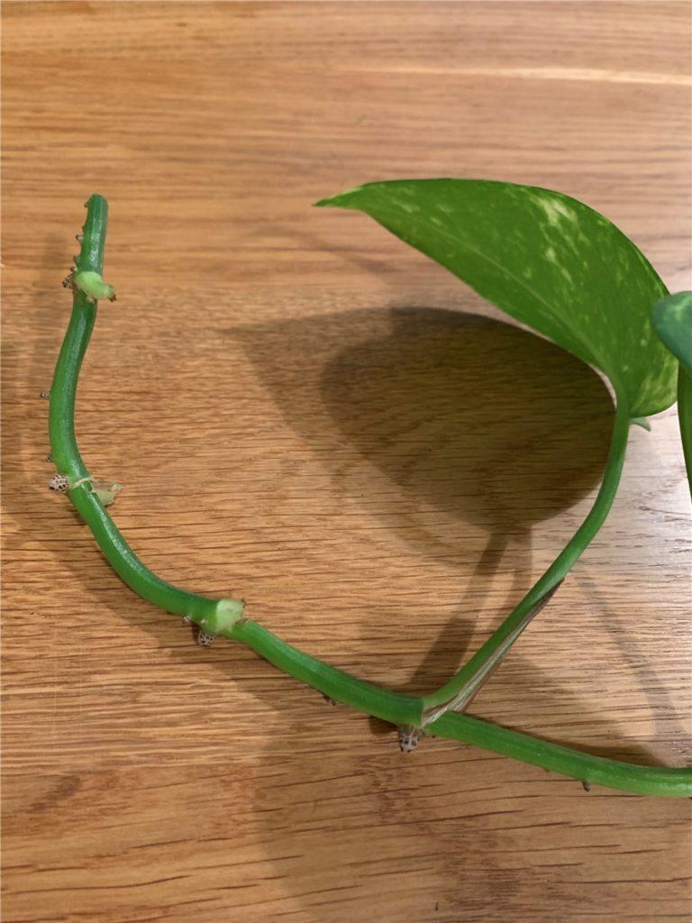 Lassen Sie am Ende der Pflanze circa fünf Zentimeter frei (ohne Blätter), damit sie wurzeln kann.