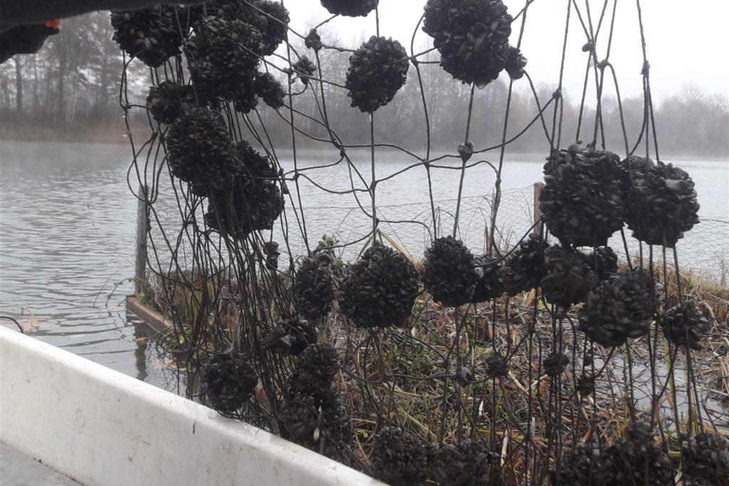 Ein Netz mit Dreikantmuscheln, die die Mitglieder bei der Kontrolle und Pflege der Wasserinseln entdeckten.