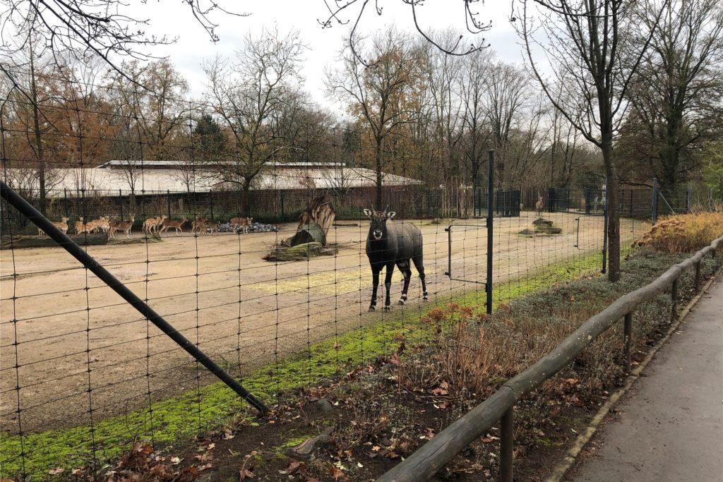 Der Nilgau-Hirsch nimmt den zurzeit seltenen Besucher in den Blick.